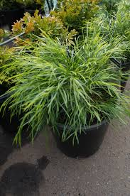 sweet viburnum 200mm pot viburnum acacia cognata mini cog westlake nursery