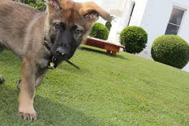 belgian shepherd qld dog who flunked police training lands a new job in government