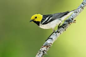 Canopy Birds by Hermit Warbler Audubon Field Guide