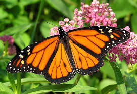 nearly one third of the iconic monarch butterfly population has