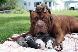 american pitbull terrier in india world u0027s largest pit bull fathers eight puppies worth up to 500 000