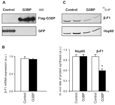 Human G3bp1 Interacts With β F1 Atpase Mrna And Inhibits Its