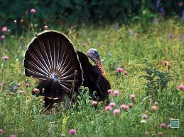 thanksgiving turkey wallpaper backgrounds wild turkey desktop backgrounds