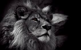 free lion black and white wallpapers full hd long wallpapers