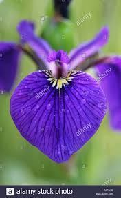 Purple Flag Iris Sibirica Siberian Flag Iris Petal Close Up Stock Photo