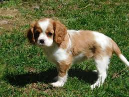 poodle x bichon frise cavalier king charles spaniel mixed with bichon frise dog and cat