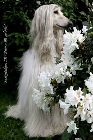 afghan hound tattoo 191 best afghan hound images on pinterest afghan hound afghans