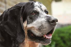videos of bluetick coonhounds types of coonhounds cuteness