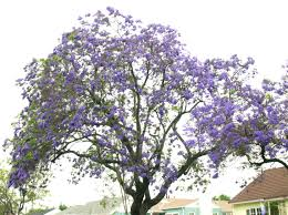 tree with purple flowers pasadena s purple trees pasadena real estate guide
