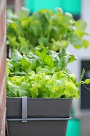 gem se pflanzen balkon mein balkon gemüse im schatten anbauen geht das