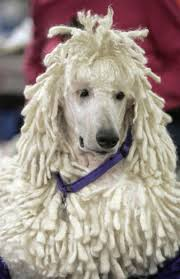 25 best poodle haircuts images on pinterest poodle haircut