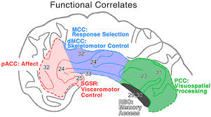 Anterior Association Area Cingulate Gyrus Functional Correlations Of The 4 Cingulate Regions