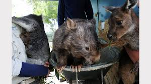 ballarat treasure patrick the wombat dies the courier