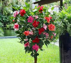 cottage farms braided double flower hibiscus 4 color tree page 1
