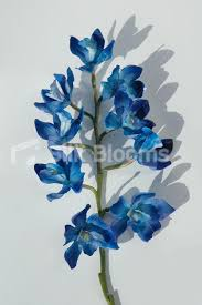 blue orchids for sale shop artificial galaxy blue orchids singapore orchids dyed