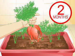 When Should I Start Planting My Vegetable Garden by 3 Ways To Grow Carrots In Pots Wikihow