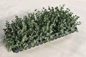 silver drop eucalyptus eucalyptus gunnii divaricata silverdrop annual benary