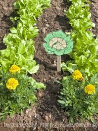 marigolds in the vegetable garden 6 important things they do