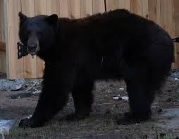 beware the bears of tahoe life changing year