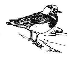 file line art illustration black and white of ruddy turnstone bird