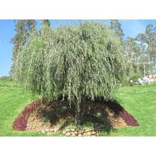 plant weeping willow tree drooping branches give the tree a