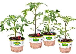 Bonnie Plants Patio Tomato Home Depot Plants Outdoor Rooms To Rent For Couples In London