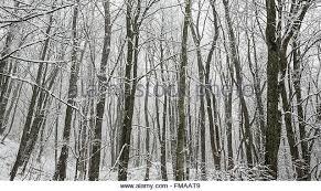 slender trees stock photos slender trees stock images alamy