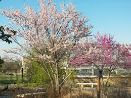kansas native plants this eastern redbud u0027cotton candy u0027 has lovely light pink flowers