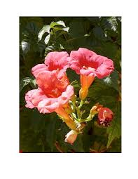 climbing plants for a pergola fence or arbor my garden and home