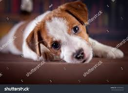 australian shepherd jack russell terrier dog library jack russell terrier stock photo 159375023 shutterstock