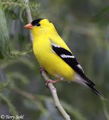 South Dakota birds images American goldfinch south dakota birds and birding jpg
