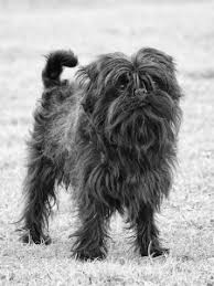 affenpinscher lab mix little known dog breeds and my opinion on mixed breeds