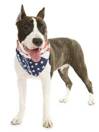american pit bull terrier lab mix looking for information about brindle pit bulls read these facts