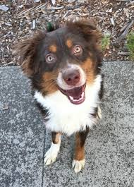 adopt a australian shepherd adopt a dog or cat or pet from the milo foundation animal rescue