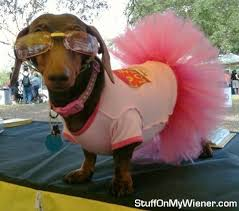 Halloween Costumes Miniature Dachshunds 164 Happy Halloweenie Images Happy Halloweenie