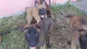 belgian sheepdog florida belgian malinois belgian malinios puppies for sale in hoobly