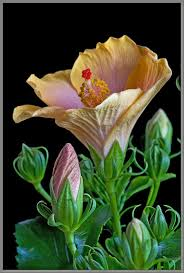 What Is The Meaning Of The Hibiscus Flower - mic uk a close up view of two members of the mallow family
