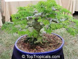 of the miniature trees toptropicals