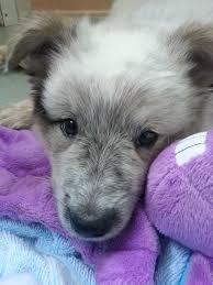 australian shepherd blue heeler mix my new puppy bentley is tired from so much play australian