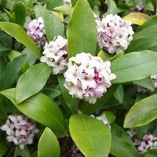 Fragrant Shade Plants - woodland garden design shrub gardens and plants