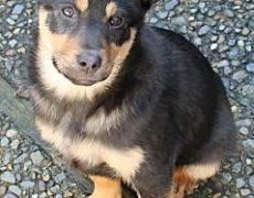 australian shepherd cattle dog mix australian kelpie info puppies mix temperament pictures