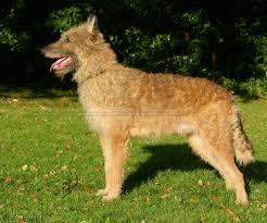 belgian shepherd nova scotia karst shepherd krasky ovcar kraševec kraški ovčar karst