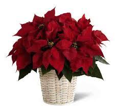 Christmas Plants Top 5 Plants For Christmas Grower Direct Fresh Cut Flowers Presents U2026