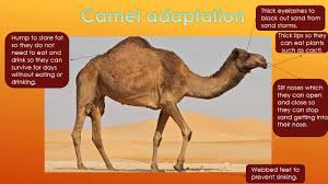 cactus and camel adaptations youtube