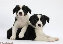 cute puppies 2 wallpapers cute puppy dogs border collie puppies
