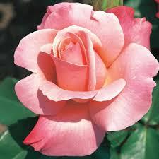 color roses color magic hybrid tea edmunds roses