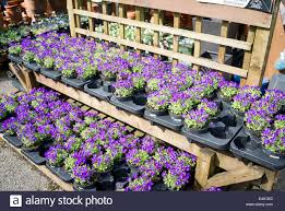 pots of aubretia plants for sale in an english garden centre stock