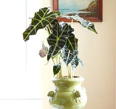 house plants low light tall indoor plants low light mask plant tall house plants low light