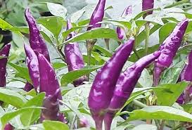 explosive ember chilli the brightest extremely attractive