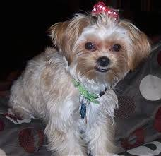 yorkie poo haircut 24 pictures of shih tzu yorkie mix a k a shorkie and breed info